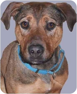 Shepherd (Unknown Type)/Staffordshire Bull Terrier Mix Dog for adoption in Grass Valley, California - BeBe*URGENT*