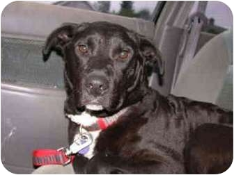 Chesapeake Bay Retriever/Labrador Retriever Mix Dog for adoption in Portland, Oregon - Midge