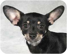 Chihuahua/Miniature Pinscher Mix Dog for adoption in Chicago, Illinois - Annie