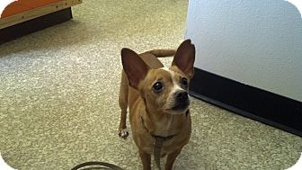 Chihuahua Dog for adoption in Roslyn, Washington - Cocoa