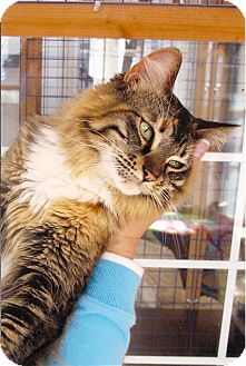 Maine Coon Cat for adoption in Davis, California - Kalista