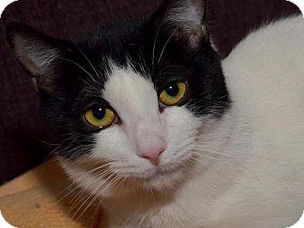 American Shorthair Cat for adoption in Brooklyn, New York - Dina