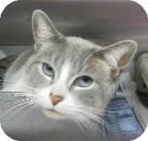 Domestic Shorthair Cat for adoption in Tinton Falls, New Jersey - Mya