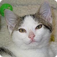 Adopt A Pet :: Babee - Port Republic, MD