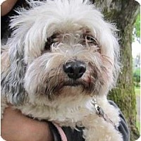 Adopt A Pet :: Teddi - I don't shed - Vancouver, BC