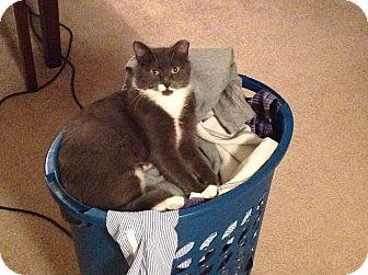 Domestic Shorthair Cat for adoption in Anoka, Minnesota - Polly