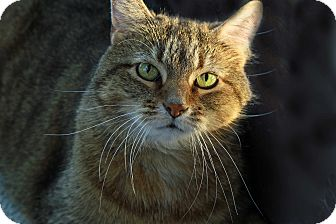 Abyssinian Cat for adoption in St. Louis, Missouri - Kate Bush