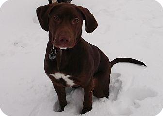Labrador Retriever/Beagle Mix Dog for adoption in Ionia, Michigan - Hershey