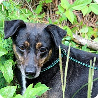 Beagle/Feist Mix Dog for adoption in Yardley, Pennsylvania - Dorothy, a Celebrate Home Dog, Lower Fee