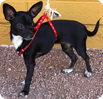 Chihuahua Mix Dog for adoption in Gilbert, Arizona - Bermuda