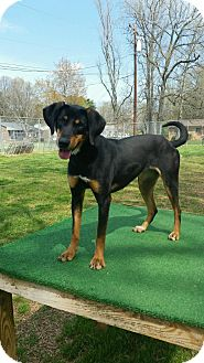 Hound (Unknown Type)/Mixed Breed (Medium) Mix Dog for adoption in Shelby, North Carolina - Cece