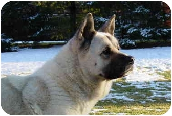 Akita Dog for adoption in Chicago, Illinois - Ted E. Bear