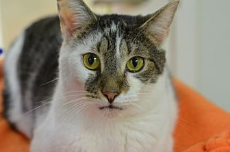 Domestic Shorthair Cat for adoption in Atlanta, Georgia - Chloe Harbin	150139