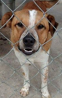 Border Collie Dog for adoption in Darien, Georgia - Ruffie