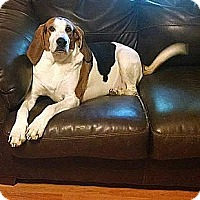 Adopt A Pet :: Banjo-The Smiling Hound - Washington DC, DC