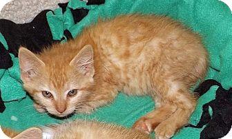 Domestic Shorthair Kitten for adoption in Salem, Oregon - June