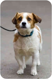 Lhasa Apso/Jack Russell Terrier Mix Dog for adoption in Portland, Oregon - Ms Freckles