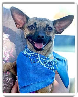 Chihuahua/Miniature Pinscher Mix Dog for adoption in Sacramento, California - Ike looking for love
