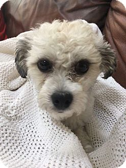Poodle (Miniature) Mix Dog for adoption in Oakland, Michigan - Russell