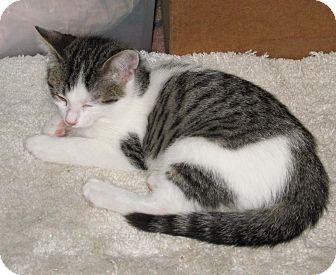 Siamese Kitten for adoption in Kansas City, Missouri - Bricer