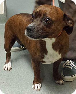 Staffordshire Bull Terrier/Boxer Mix Dog for adoption in Westminster, California - Bestie