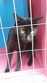 Domestic Shorthair Cat for adoption in Ocala, Florida - Nova