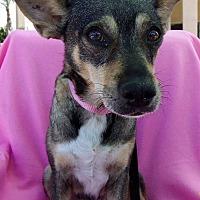 Adopt A Pet :: Ginger - Scottsdale, AZ