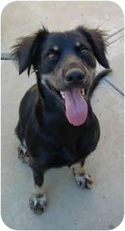 Australian Shepherd/German Shepherd Dog Mix Dog for adoption in Harbor City, California - Pippi