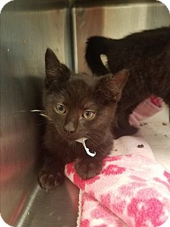 Domestic Shorthair Kitten for adoption in Indianapolis, Indiana - Beans