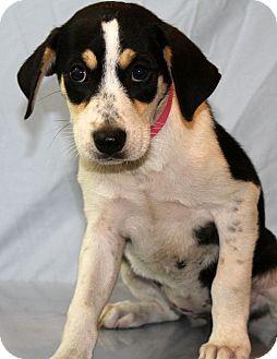 Labrador Retriever/Pointer Mix Puppy for adoption in Waldorf, Maryland - Ellen