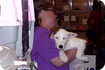 Terrier (Unknown Type, Medium) Mix Puppy for adoption in Lonedell, Missouri - Carla
