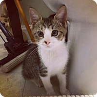 Domestic Shorthair Kitten for adoption in Marietta, Georgia - Commander Cody