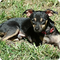 Miniature Pinscher/Chihuahua Mix Puppy for adoption in Ashburn, Virginia - Luther