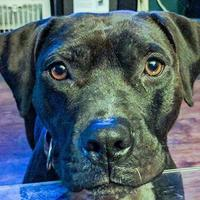 American Pit Bull Terrier Mix Dog for adoption in Mission, Kansas - Chrysalism