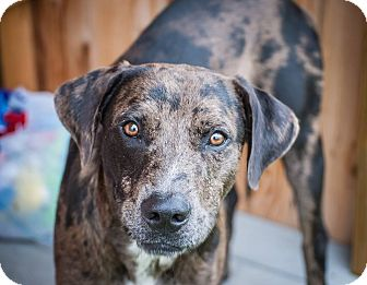 Catahoula Leopard Dog Mix Dog for adoption in Warren, Maine - Tabasco - CT