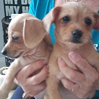 Adopt A Pet :: Mindy - Venice, FL