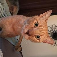 Adopt A Pet :: Scar - San Antonio, TX