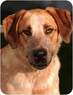 Golden Retriever/Australian Cattle Dog Mix Dog for adoption in El Segundo, California - Chip