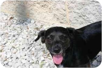 Beagle/Border Collie Mix Dog for adoption in Saint Charles, Missouri - Tippy