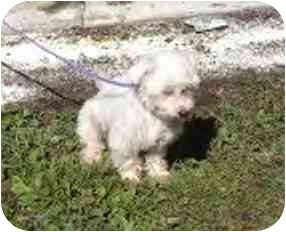 Terrier (Unknown Type, Small)/Poodle (Miniature) Mix Dog for adoption in Cole Camp, Missouri - Frith