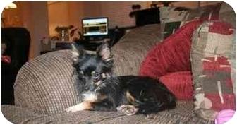 Chihuahua Mix Dog for adoption in Arlington, Texas - Hailey