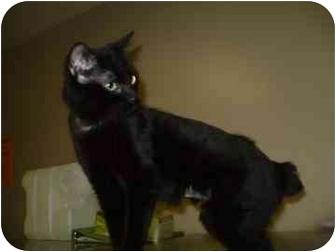 Domestic Shorthair Cat for adoption in Barrie, Ontario - Batman