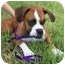 Photo 1 - Boxer Dog for adoption in Tallahassee, Florida - Scout