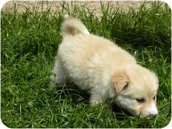 Golden Retriever Mix Puppy for adoption in Salem, New Hampshire - Taboo