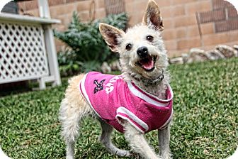 Cairn Terrier Mix Dog for adoption in Huntington Beach, California - Rosey