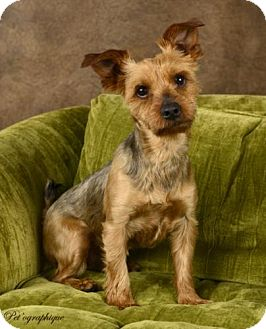 Silky Terrier/Yorkie, Yorkshire Terrier Mix Dog for adoption in Las Vegas, Nevada - Toby