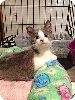 Domestic Shorthair Kitten for adoption in Byron Center, Michigan - Zephie