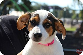 Jack Russell Terrier Mix Dog for adoption in Hatifeld, Pennsylvania - Ruby
