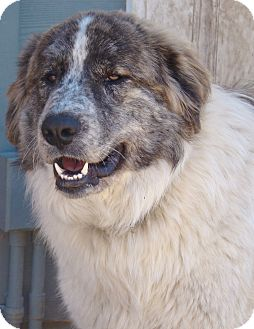 Great Pyrenees Mix Dog for adoption in Tulsa, Oklahoma - Norman  *Adopted
