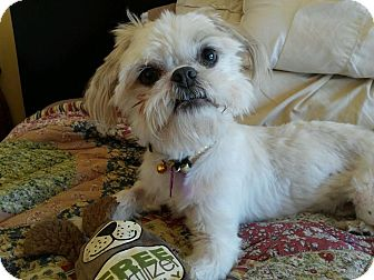 Shih Tzu/Maltese Mix Dog for adoption in Encinitas, California - Benny